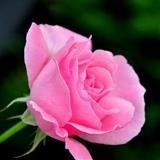 Summer Rose avatar