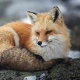 foxandfate avatar